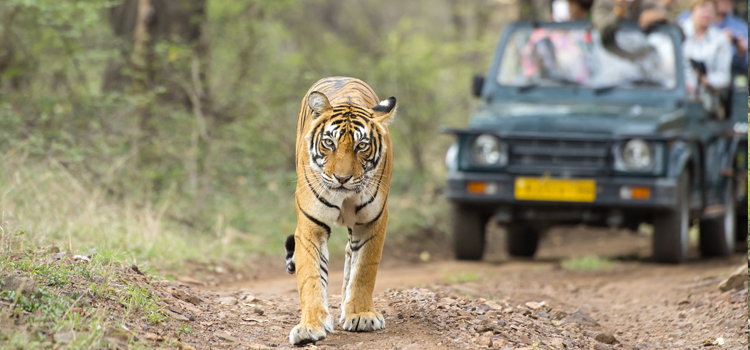 Jeep Safari In Ranthambore